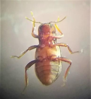 beetleElmidae